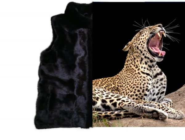 Black Vest Tiger